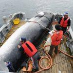 Japan Formally Announces IWC Withdrawal To Resume Commercial Whaling
