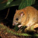 Australian Small Brown Rat Becomes World's First Mammal To Go Extinct Due To  Climate Change