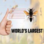 World's Largest Bee Spotted The First Time Since 1981