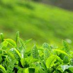 Asian Tea Alliance Launched In China