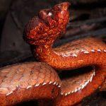 New Heat-Sensing Snake Species Found, Named After Arunachal Pradesh