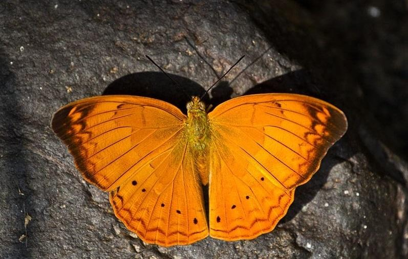 Tamil yeoman declared Tamil Nadu's state butterfly_40.1