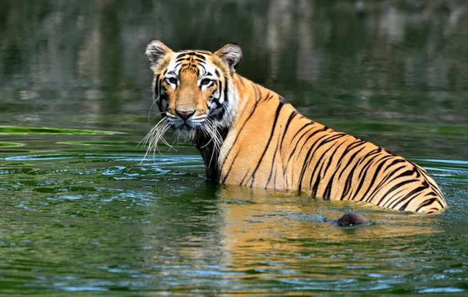 """""""Special Tiger Force"""" for Corbett Reserve to be set up Uttarakhand_40.1"""
