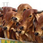 Livestock population in India rises 4.6 per cent in 20th Livestock Census