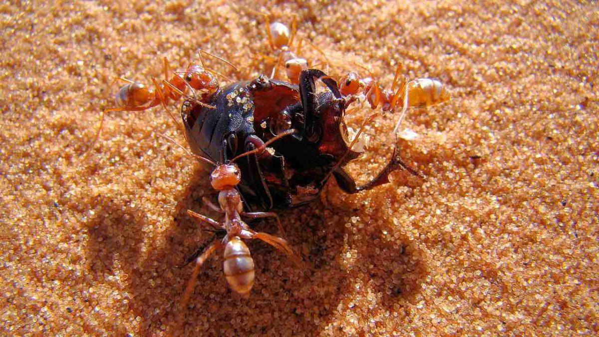 "World fastest ant ""Saharan silver ant"" found in northern Sahara_40.1"