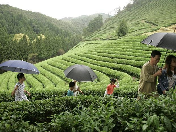 Darjeeling's green and white teas get GI tag_40.1