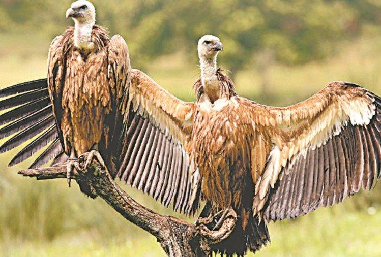 State's 1st Vulture Conservation to set up UP Government_40.1