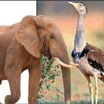 Elephant and Indian Bustard to be included in India's global conservation list