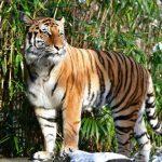 "4-year-old Malayan tiger ""Nadia"" tests positive for coronavirus"