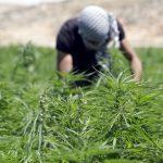 Lebanon legalizes cannabis farming for medicinal use