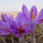 Kashmir saffron gets GI tag by Geographical Indications Registry