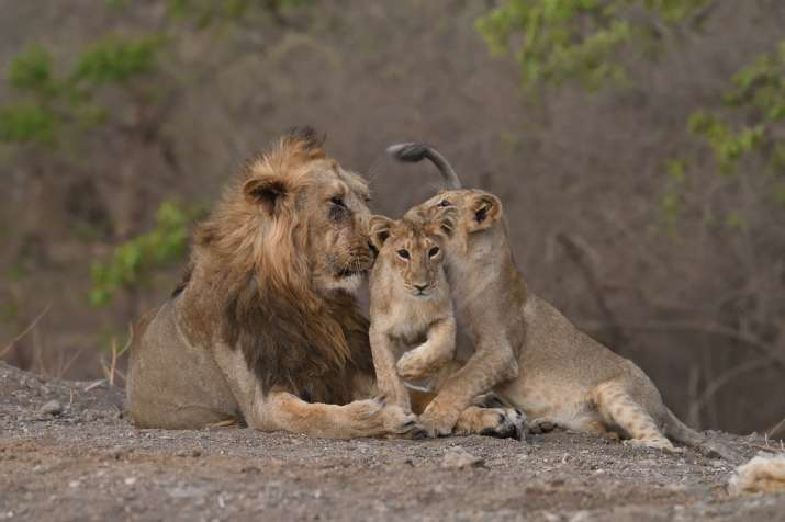 India records 29% increase in Asiatic Lion population_40.1