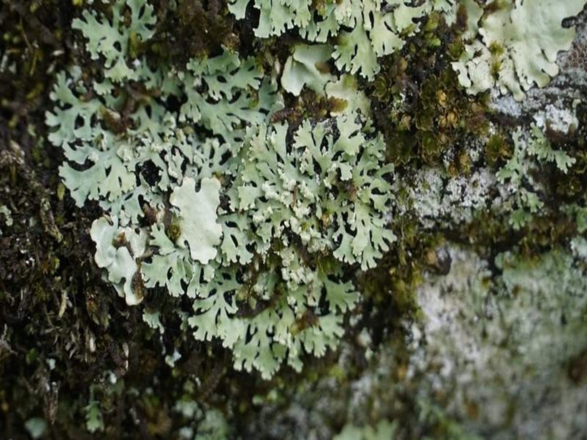 U'khand forest department develops India's 1st lichen park_40.1