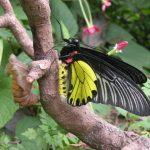 Himalayan Golden Birdwing butterfly named as India's largest butterfly