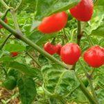 "Famous chilli of Sikkim ""Dalle Khursani"" gets GI Tag"