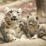 World Snow Leopard Day: 23 October
