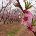 5th India International Cherry Blossom Festival cancelled
