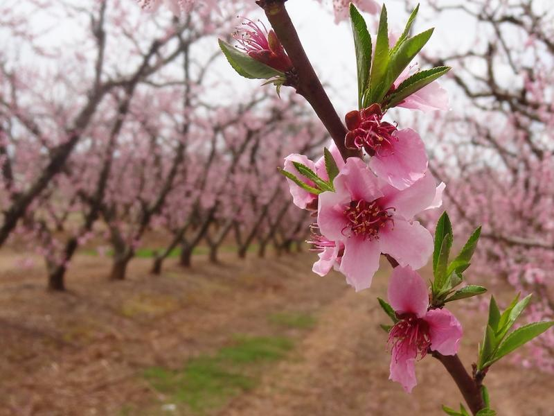 5th India International Cherry Blossom Festival cancelled_40.1