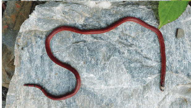 Researchers discovered Black-bellied Coral snake in forests of Uttarakhand | গবেষকরা উত্তরাখণ্ডের বনাঞ্চলে কালো-পেটযুক্ত কোরাল সাপ আবিষ্কার করেছেন_40.1