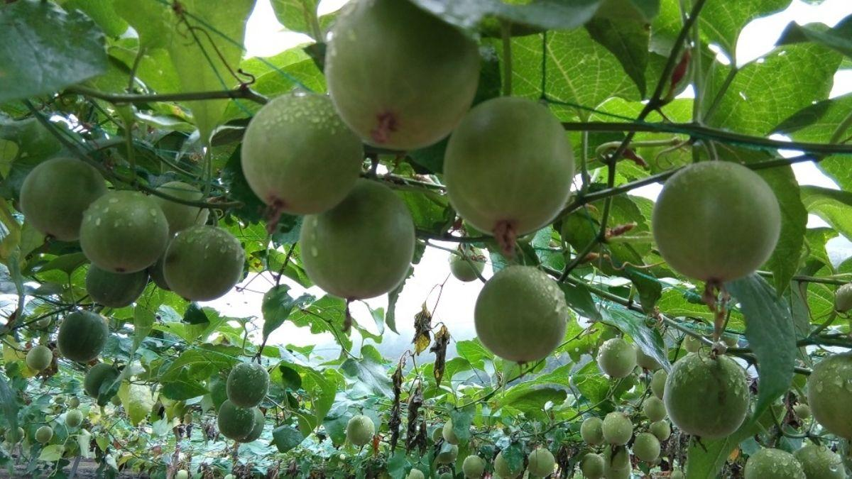 India's first monk fruit cultivation exercise begins in HP's Kullu_40.1