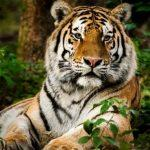 35% of India's tiger ranges are outside protected areas