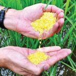 Philippines becomes first country to approve Golden Rice for planting
