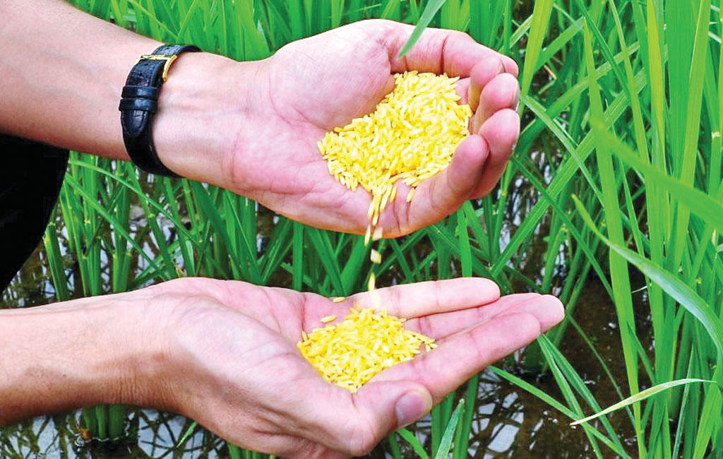 Philippines becomes first country to approve Golden Rice for planting_40.1