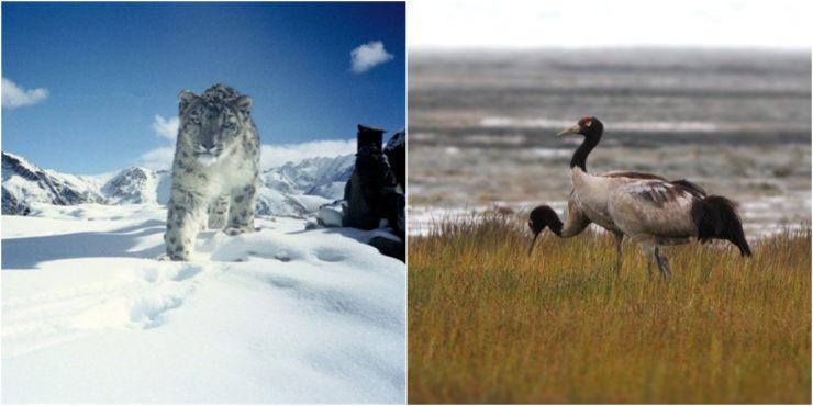 Ladakh announces snow leopard as state animal, black-necked crane as state bird_40.1
